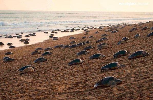 sea turtles eggs uplifting wholesome india animals tortoises | sandy sea shore beach with multiple turtles nesting along it