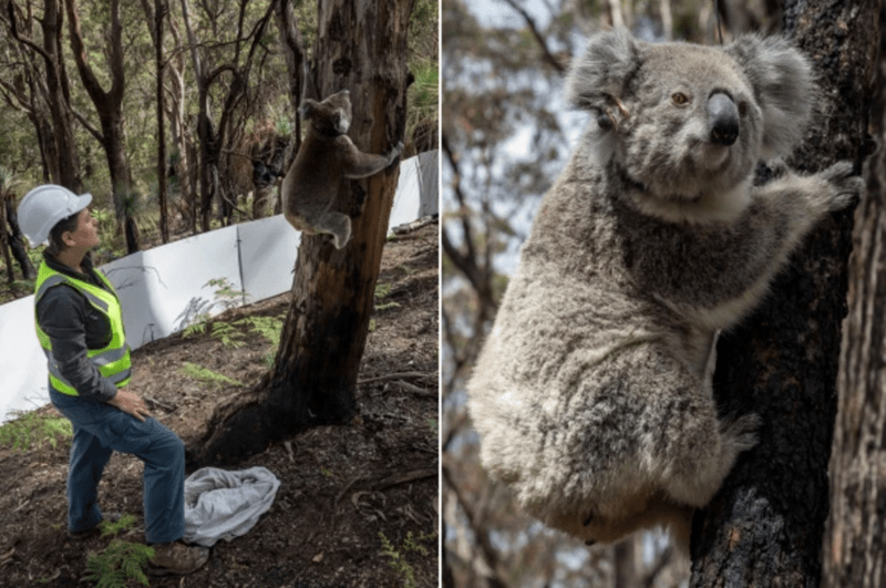 Hospitalized Koalas Are Being Released Following The Australian Bushfires | fuzzy fluffy koala holding onto a tree as a person in a hard hat and a safety vest looks on rehabilitation return to the wild