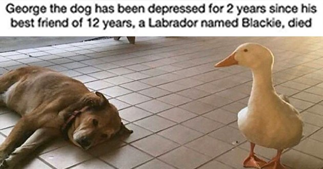 duck dog dogs animals friendship love aww cute | George dog has been depressed 2 years since his best friend 12 years Labrador named Blackie, died white duck looking at a dog lying down