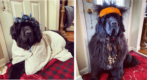 Dog Owner Copes With Isolation By Making Funny Hairdos On Her Newfoundland, Hank | cute furry dog wrapped in a towel with rollers on its head | dog wearing an orange headband and a necklace