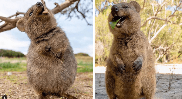 Cute Quakkas photos | adorable chunky chubby fuzzy marsupials looking happy with its mouth open and eating a green leaf