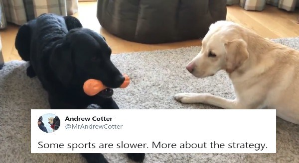 Labrador sports championship | tweet Andrew Cotter @MrAndrewcotter Some sports are slower. More about the strategy. two dogs sitting together with the black one holding a toy in its mouth and the white one looking at it