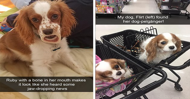 doggo snapchat snaps dogs aww cute animals funny lol | cocker spaniel Ruby with bone her mouth makes look like she heard some jaw-dropping news | My dog, Flirt (left) found her dog-pelganger!
