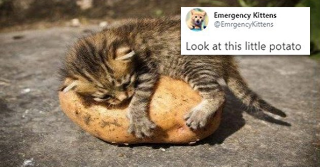 kitten cats aww cute sanity tweets twitter love kittens animals baby funny lol | Emergency Kittens @EmrgencyKittens Look at this little potato 4:00 PM Mar 13 2020 Twitter Media Studio tiny kitten snuggling a potato as big as it is
