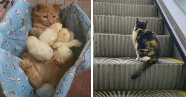 cats video instagram funny lol cute aww animals | cute cat sitting on a step of an escalator | orange cat snuggled in a crib with baby chicks
