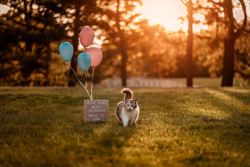 cats photoshoot maternity photography aww cute pregnant cat facebook photographer | MORE PAWS MORE WHISKERS MORE LOVE chonky cat walking beside a sign and balloons