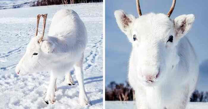 norway photography white reindeer rare calf baby animals aww cute | white baby reindeer with tiny horns in a snowy field