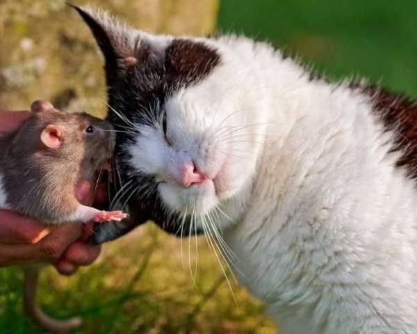 Amazing animal photos | cute black and white cat tilting its head toward a rat held in a person's hand