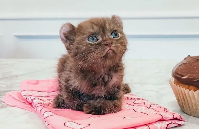 kitten teddy bear cats animals aww cute adorable quill | kitten baby cat with fuzzy brown fur and round ears that make it look like a tiny bear