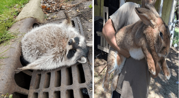 Absolute units photos | fat chonky raccoon with its bottom half stuck inside a sewer gate | huge rabbit carried in the arms of an adult man