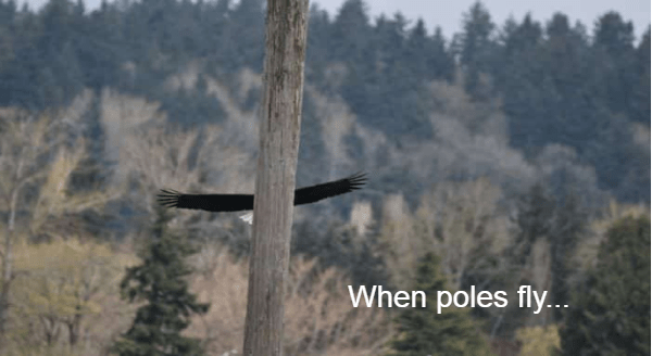 crappy wildlife photography | perfectly timed photo pic taken at the right moment When Poles Fly bird crashing into a pole with just its spread wings visible