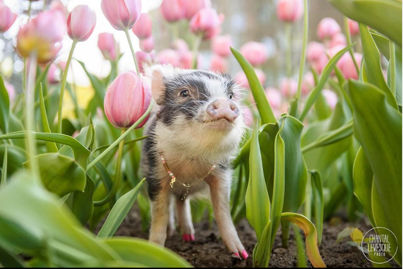 Fluffy The Therapy Pig Playing in a Field Of Pink Tulips | very cute tiny pig piglet with pink hooves and a gold chain