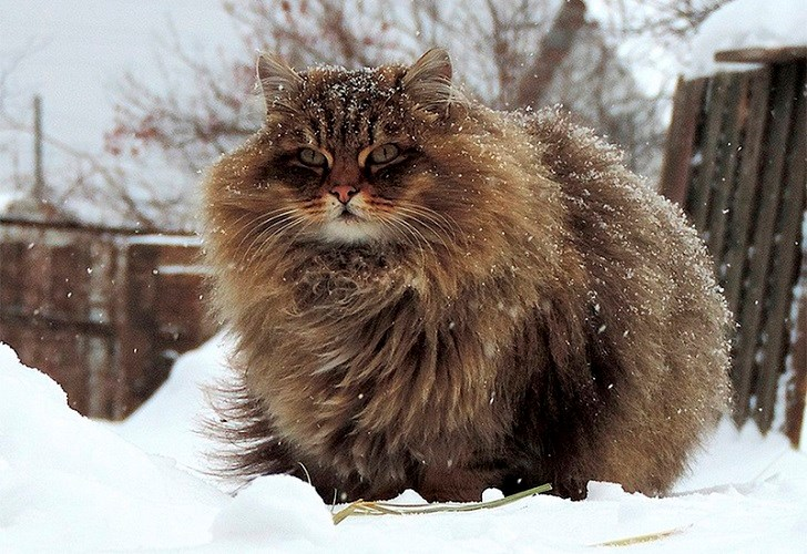 siberian cats floof fluffy cat aww cute animals | very huge cat with long fuzzy fur sitting outside in the snow