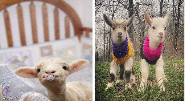 cute baby goats photos | cute kid with a pacifier in its mouth | two adorable baby goats wearing little sweaters