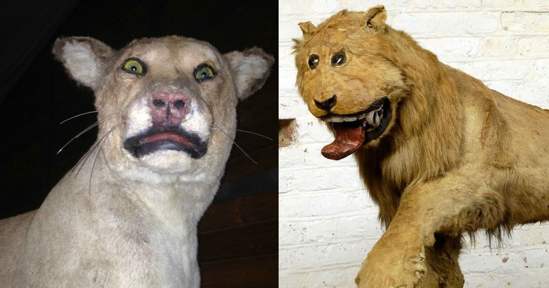 Wtf weird and bad taxidermy fails | creepy front facing taxidermy tiger | derpy looking taxidermy lion with its tongue hanging out