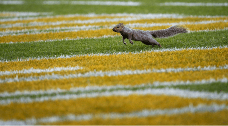 nfl squirrel football animal