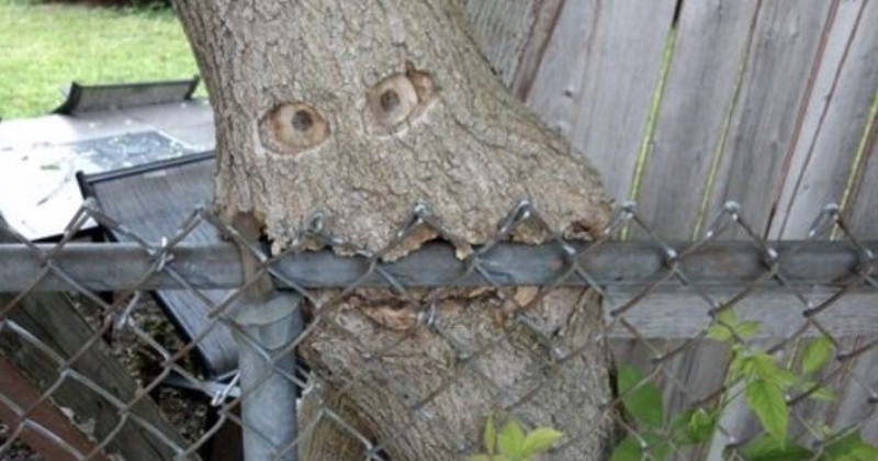 A collection of pictures of trees that looked like they ate stuff | tree with hold that look like eyes growing through a fence looking like a face biting on it