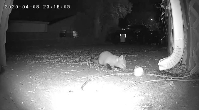 baby fox camera aww animals foxes cute | black and white night vision trail camera footage baby fox playing with a ball