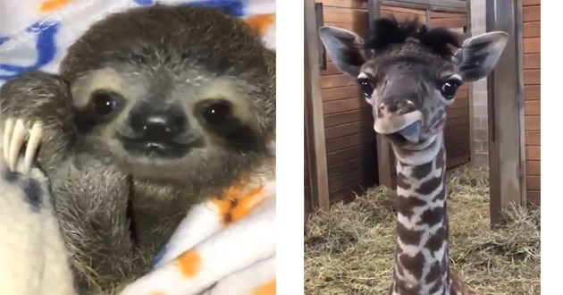cute animals silly vids aww adorable cuteness | little sloth wrapped up in a blanket | baby giraffe with fuzzy furr tongue sticking out derp face