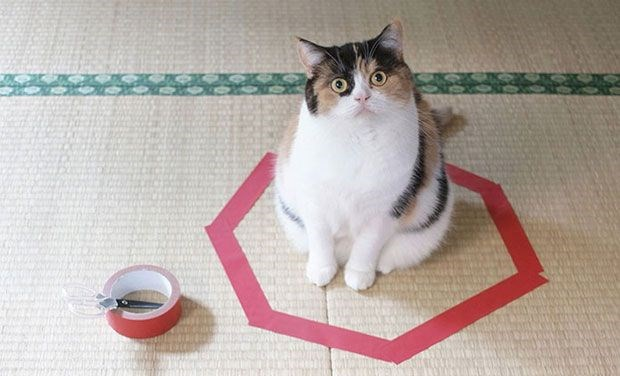 cats circles summon funny lol cute aww pics | adorable chonky cat sitting in the center of a polygon heptagon made of red tape on the floor