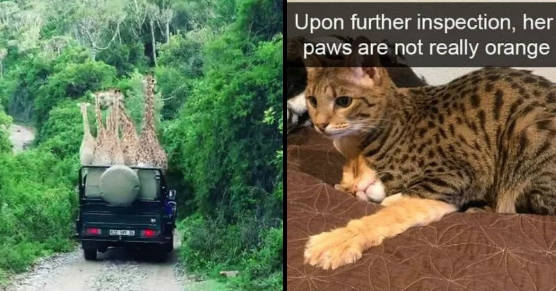Confusing images to make people double-take | pack of giraffes inside a safari jeep | Upon further inspection, her paws are not really orange spotted cat sitting on top of an orange cat