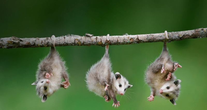 The Different Purposes Animals Use Their Tails For | row of three cute possums hanging from the same tree branch with their tails