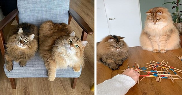 siberian cats instagram funny lol cute aww animals vids pics floof fluffy | two very fuzzy chonky cats with long fur sitting together on a chair and playing mikado with a human