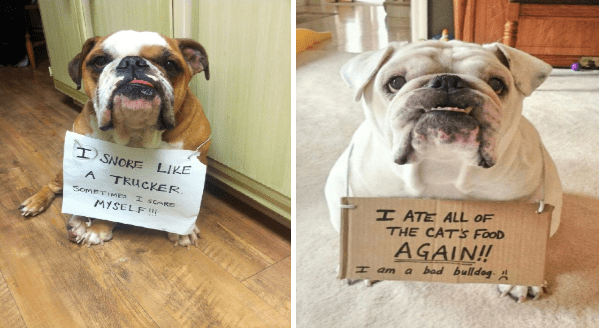 Bulldog shaming | ATE ALL CATS FOOD AGAIN! H am bad bulldog | SNORE LIKE TRUCKER. SOMETIMES SCARE MYSELF cute bull dogs with signs around their necks