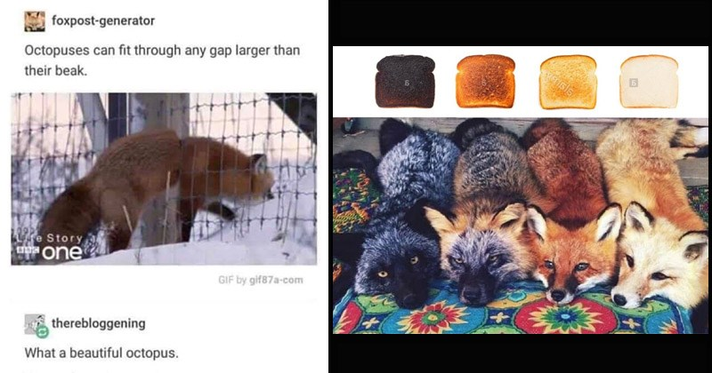 Funny memes about foxes | different colored foxed black brown orange compared to bread in different stages of getting burnt | foxpost-generator Octopuses can fit through any gap larger than their beak. R9Pe Story mone GIF by gif87a-com therebloggening beautiful octopus. Source: foxpost-generator