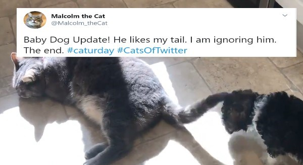 Malcolm The Cat Is Trying To Cope With The New Baby Dog In The House (Tweets) | Malcolm the Cat @Malcolm_theCat Baby Dog Update! He likes my tail. I am ignoring him. The end. #caturday #CatsOfTwitter grey cat ignoring a puppy playing with his tail