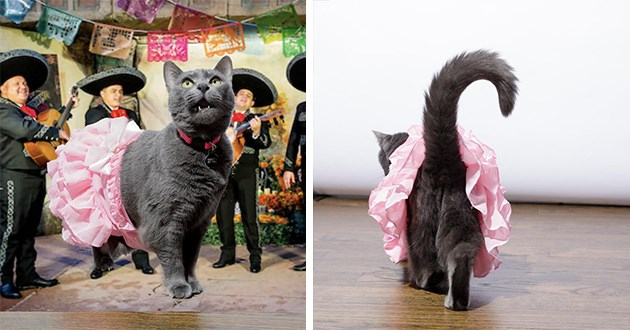 quinceanera cats tutus celebration cute aww animals | adorable black cat wearing a pink ruffled skirt surrounded by a mariachi band during a party