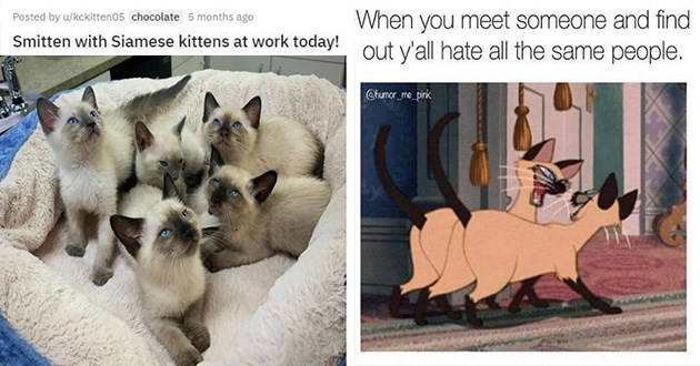 siamese cats aww cute funny memes lol pics animals | Posted by u/kckitten05 chocolate 5 months ago Smitten with Siamese kittens at work today! | meet someone and find out y'all hate all same people humor_me_pink