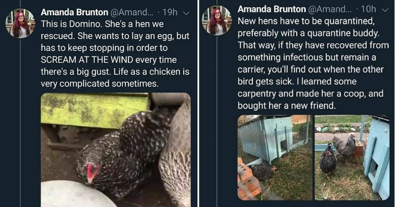 Twitter story of chicken relationship | Amanda Brunton @Amand 19h This is Domino. She's hen rescued. She wants lay an egg, but has keep stopping order SCREAM AT WIND every time there's big gust. Life as chicken is very complicated sometimes. 2,523 views 27 30 160 | New hens have be quarantined, preferably with quarantine buddy way, if they have recovered something infectious but remain carrier find out other bird gets sick learned some carpentry and made her coop, and bought her new friend. 27 5