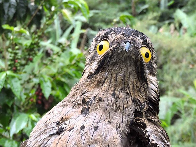 Meet Potoo: The Nocturnal Bird With The Funniest Look Ever | funny derpy looking bird with big yellow googly eyes bulging out and a pointy beak