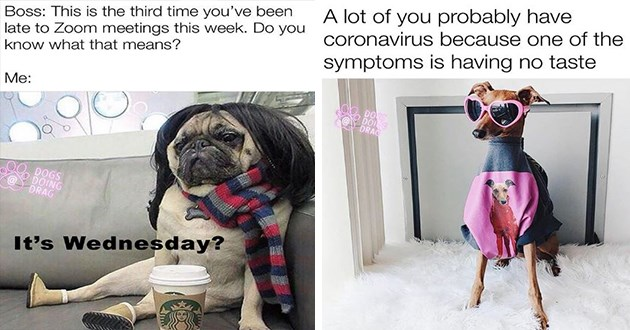 dogs drag funny lol cute aww animals doggo costume dressed up | Boss: This is third time been late Zoom meetings this week. Do know means DOGS DOING DRAG 's Wednesday? | lot probably have coronavirus because one symptoms is having no taste DOS DRAG