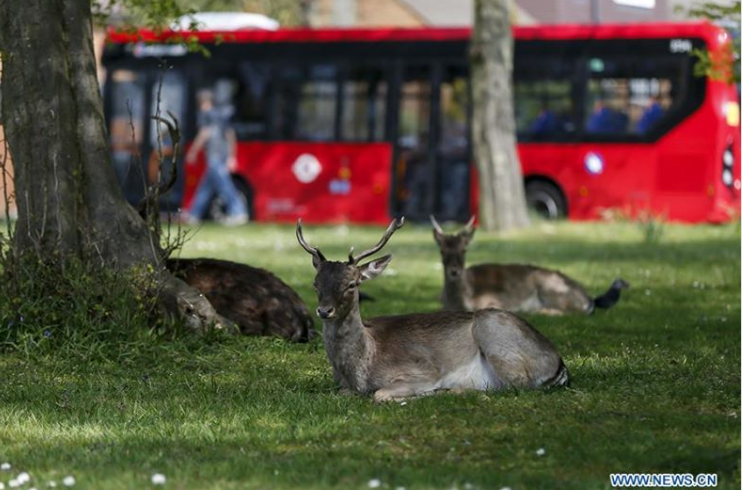 Earth Is Reviving In The Absence Of Humans (Tweets) | two does and a deer sitting peacefully in grass while a red bus passes behind them