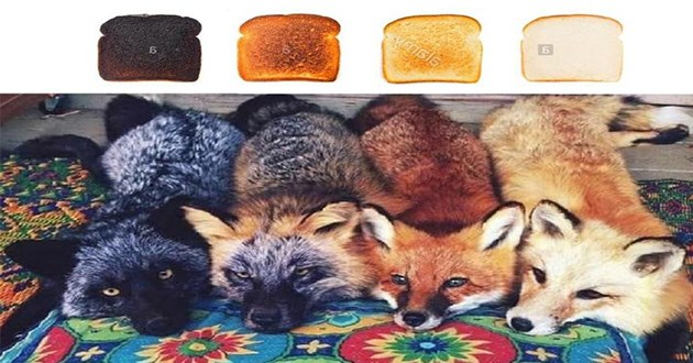 foxes fox aww cute pics funny adorable animals memes | four cute foxes in different colors black orange brown and tan matching different toasted levels of bread