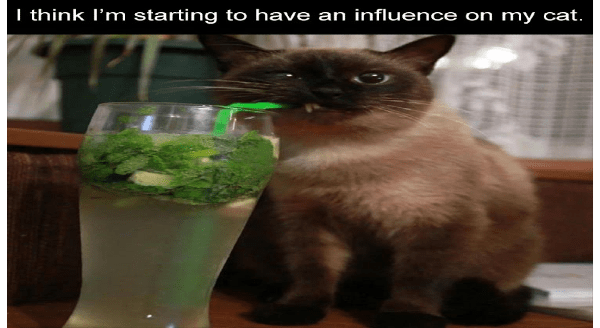 fresh animal memes | think starting have an influence on my cat. cute cat Siamese drinking a mojito with a straw