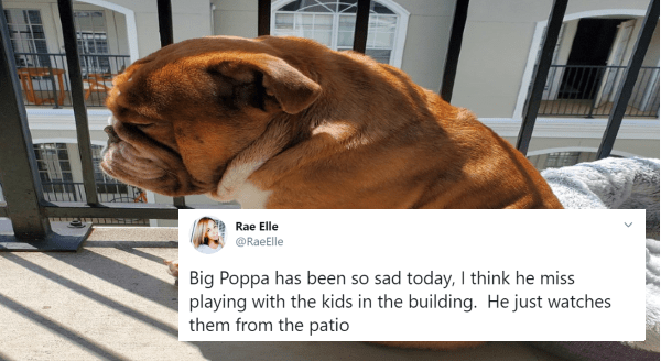 Big Poppa, The Bulldog Who Went Viral For His Isolation Sadness | Rae Elle @RaeElle Big Poppa has been so sad today, I think he miss playing with the kids in the building. He just watches them from the patio