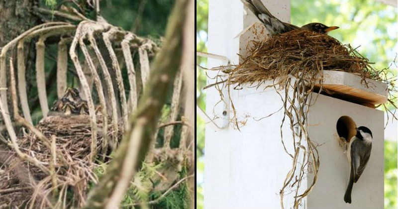 Birds nests in strange places | birds nest with tiny chicks built between the ribs of a dead animals skeleton remains | birds nest built on top of another bird box