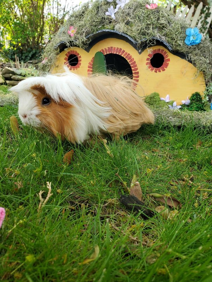 guinea pig hobbit hole amazing cute funny lotr shire animals aww lol | cute long haired furry guinea pig in front of a small miniature house that looks like the baggins house from lord of the rings