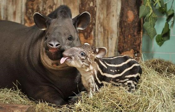Photos of baby tapirs | adorable cute baby newborn tapir with stripes on its back and tongue sticking out standing near its mother mama tapir