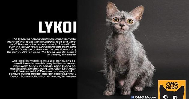 cats facts origin breeds animals cute cool interesting | LYKOI Lykoi is natural mutation domestic shorthair looks like popular idea were- wolf mutation has occurred domestic cats over last 20 years. DNA testing has been done by UC Davis confirm cats do not carry Sphynx/Devon gene breed developed Vonore, Tennessee. Lykoi adalah mutasi semula jadi dari kucing do- mestik berbulu pendek yang kelihatan seperti 'were-wolf Mutasi ini berlaku pada kucing do- mestik sejak 20 tahun yang lalu. Ujian DNA
