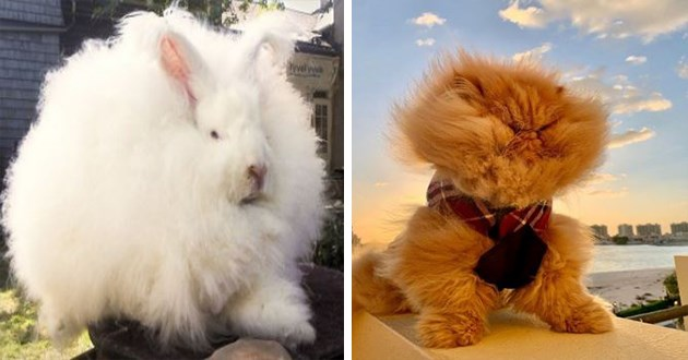 floofy animals hair funny floof fur aww cute lol adorable pics | white fluffy bunny that looks like a cotton ball | orange cat with long fur with strong wind blowing in its face