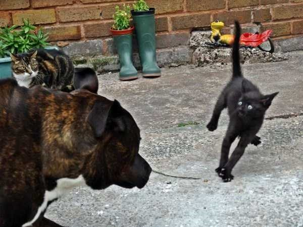 Perfectly timed photos of animals | funny pic of black cat jumping in its spot midair looking scared by an approaching dog