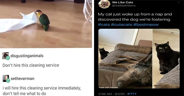 animal pic gif funny pics gifs animals aww cute lol | parrot dragging a rag across the floor disgustinganimals Don't hire this cleaning service setheverman i will hire this cleaning service immediately, don't tell me what to do | Like Cats @welikekittens My cat just woke up nap and discovered dog fostering cats #cutecats #bestmeow made with mematic 2:56 AM 3/1/20 IFTTT