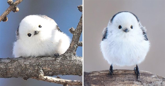 cotton ball birds japan hokkaido aww cute bird birbs animals | adorable white fluffy bird with a long tail standing on a branch and tilting its head to the side