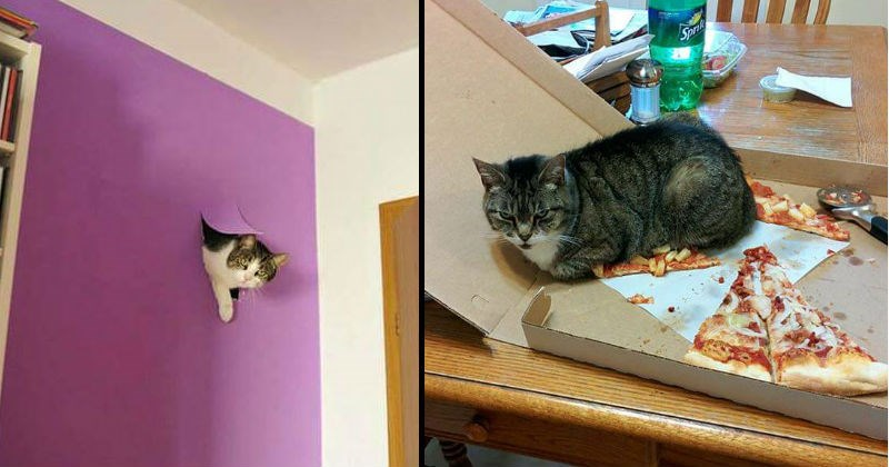 Funny images of cats ruining things | white cat with spots sticking its head through a hole in a purple wall | grey cat sitting on top of a pizza slice in a cardboard box