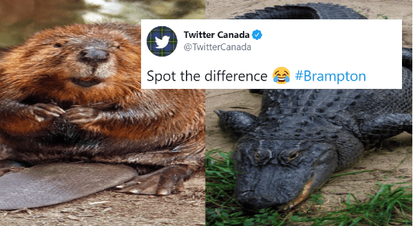 """""""Gator On The Loose"""" Turns Out To Be a Large Beaver   Twitter Canada @TwitterCanada Spot difference #Brampton pic of a cute beaver next to a pic of an alligator"""