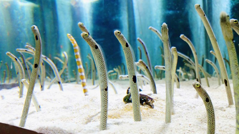 Japanese Aquarium Pleads Public To Video Chat With Their Shy Eels | multiple eels standing upright in an aquarium with their tails buried in the sand